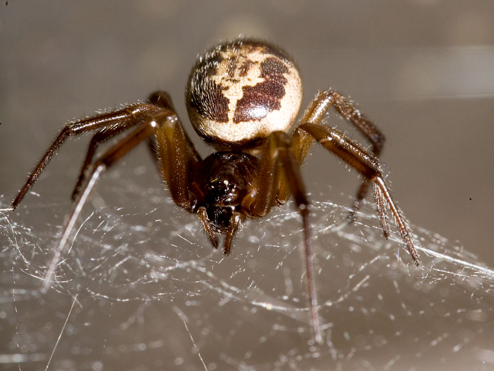 False Widow Spider Cornwall Guide