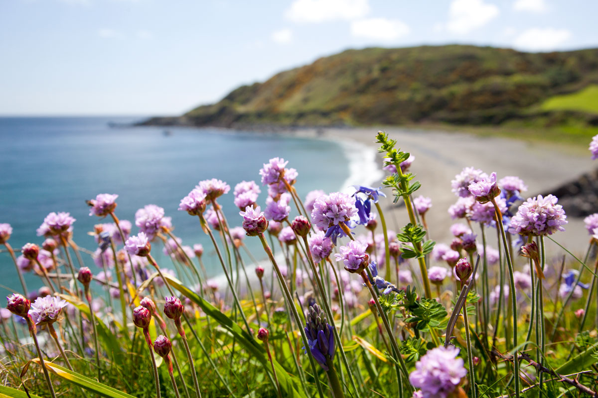 Sea Pinks At A Hidden Cove Cornwall Guide
