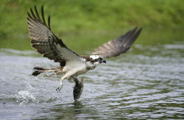 Osprey - Hayle Estuary