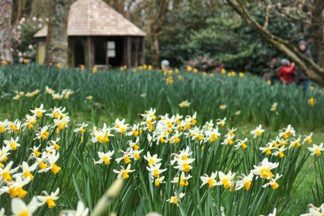 Trengwainton daffodils