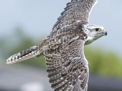 Cornish Birds of Prey