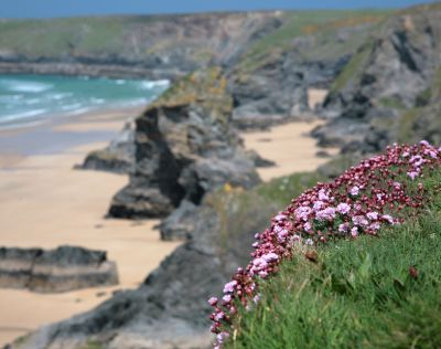 North Cornwall Cliff Flowers