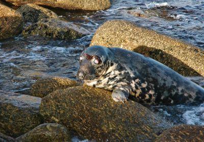 Blind Seal - Penberth