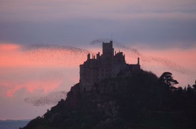 Starlings at St Michael's Mount