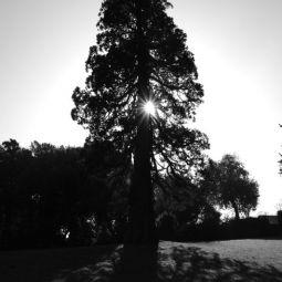 Pine Tree - Mount Edgcumbe