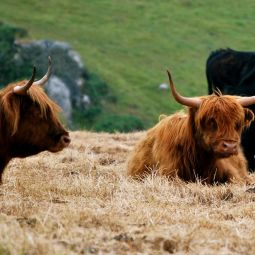Highland cattle @ Preddanack Wollas