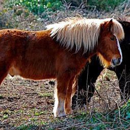 Ponies at Kennack sands