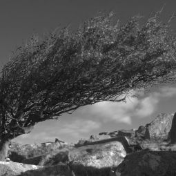 Windswept Hawthorn Tree
