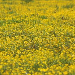 Buttercups are taking over