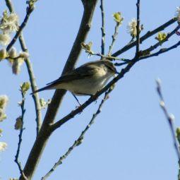 Cettis warbler boscathno