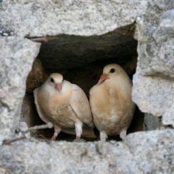Charlestown Doves