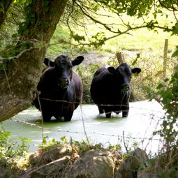 Cows chilling out