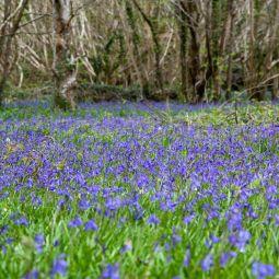 Enys Gardens bluebells