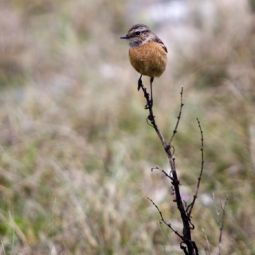 Female Stone chat on twig at gwenva