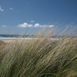 Marram Grass - Godrevy