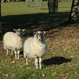 Lanhydrock Sheep