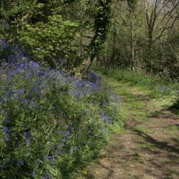 Loe Woods Bluebells