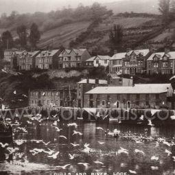 Gulls - Looe River