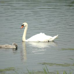 Swan and cygnets - Marazion marshes