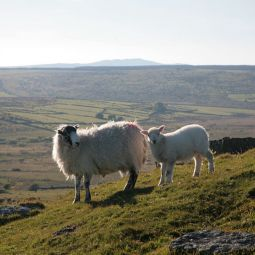 Bodmin Moor Sheep