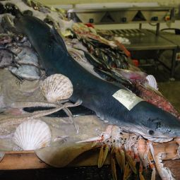 Blue Shark and Friends on display in the Fish Market