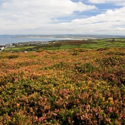 Moorland flowers above St Ives