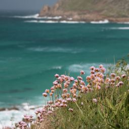 Sennen Coastpath Flowers