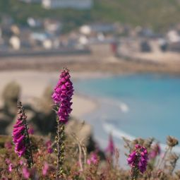 Sennen foxgloves