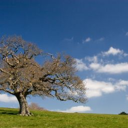 Solitary Tree - Trelissick
