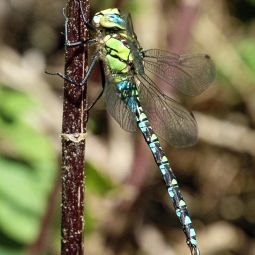 Southern Aeshna Dragonfly