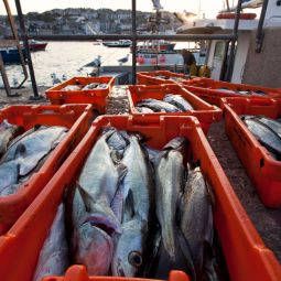 Catch of the day - St ives harbour