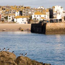 Oystercatchers - St Ives
