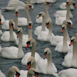 Swan swarm
