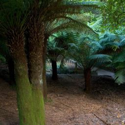 Tree Ferns - Trebah