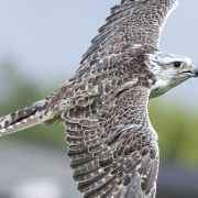 Cornish Birds of Prey
