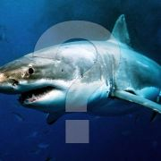 Are there Great White sharks in Cornwall?