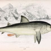 Jonathan Couch - Basking shark illustration