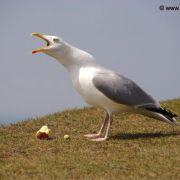 Herring Gull, Kynance Cove