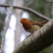 Robin, Tehidy Country Park