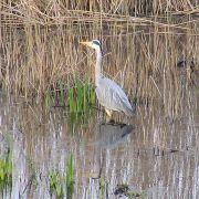 Heron at Marazion marshes