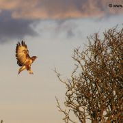 Buzzard negotiating tree landing