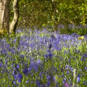 Cornish bluebells