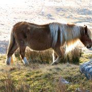 Bodmin Moor Pony