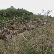 cornish bonsai