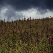 Field of foxgloves with a stormy sky