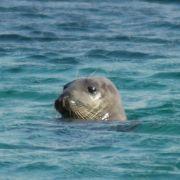 Grey Seal at Penberth Cove