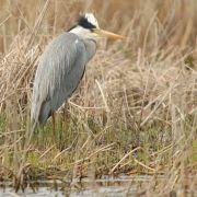 Grey Heron marazion marshes