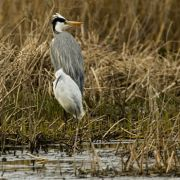 Grey Heron, little Egret