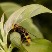 Hornet Mimic Hoverfly - Volucella zonaria