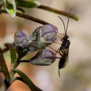 Ichneumon Fly
